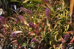 Plantas de florecimiento de la bromelia fotos de archivo libres de regalías