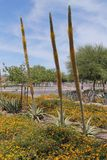 Plantas de florescência da agave Imagens de Stock Royalty Free