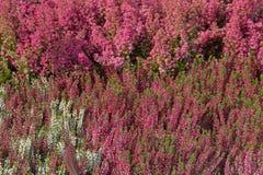 Plantas de florescência da urze Foto de Stock