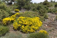 Plantas de florescência do Genista imagem de stock royalty free