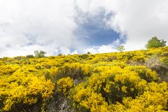 Plantas de florescência do Genista foto de stock royalty free