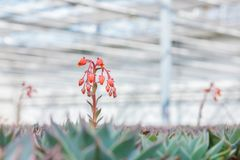 Plantas de florescência dos cactos do echeveria em uma estufa Foto de Stock
