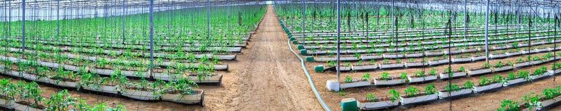 Plantas de florescência dos tomates que crescem nos potenciômetros, gigante interno p fotografia de stock