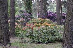 Plantas de floresc?ncia na mola possa Rododendros nas cores brilhantes da floresta do pinho e em cores da natureza imagens de stock royalty free