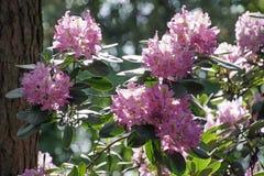 Plantas de floresc?ncia na mola possa Rododendros nas cores brilhantes da floresta do pinho e em cores da natureza fotografia de stock