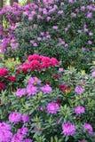 Plantas de floresc?ncia na mola possa Rododendros nas cores brilhantes da floresta do pinho e em cores da natureza imagens de stock