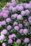 Plantas de floresc?ncia na mola possa Rododendros nas cores brilhantes da floresta do pinho e em cores da natureza fotografia de stock royalty free
