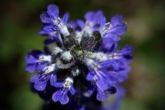 Plantas de floresc?ncia na mola possa Tiro macro P?talas azuis fotografia de stock