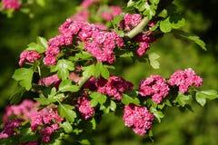 Plantas de floresc?ncia na mola possa Vermelho do sangue do espinho Cores brilhantes e cores da natureza Muitas flores foto de stock