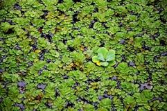 Plantas de flutuação Imagens de Stock Royalty Free