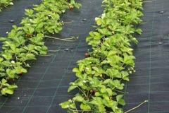 Plantas de fresa Imagen de archivo