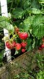 Plantas de fresa Imágenes de archivo libres de regalías