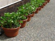 Plantas de fresa Foto de archivo