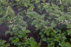 Plantas de fresa bajo descensos del agua imagen de archivo