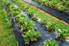 Plantas de fresa con las bayas en ellas Fotos de archivo libres de regalías