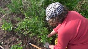 Plantas de fresa del weeding de la mujer del granjero en jardín Trabajos estacionales almacen de metraje de vídeo