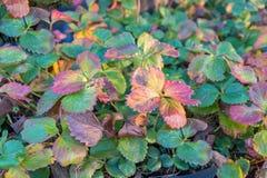Plantas de fresa en el otoño Foto de archivo