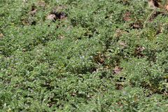 Plantas de garbanzo en un campo Imagen de archivo