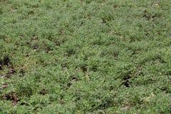 Plantas de garbanzo en un campo Foto de archivo libre de regalías
