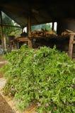Plantas de Geranuim na facilidade de produção de petróleo do gerânio em Les Palmistes, Reunion Island, França imagens de stock royalty free