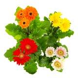 Plantas de Gerber foto de stock