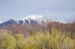 Plantas de goma del cepillo de conejo con los picos alpinos del Sangre de Cristo Mountains en fondo Imagen de archivo libre de regalías