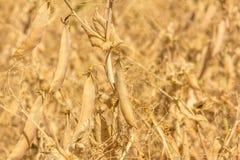 Plantas de guisante amarillo de sequía en tierras de labrantío Imagen de archivo