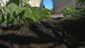 Plantas de haba jovenes que son regadas en un huerto del patio trasero almacen de video