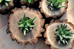 Plantas de Haworthia em plantadores do log da madeira de carvalho Imagens de Stock Royalty Free