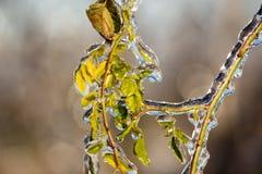 Plantas de hielo Foto de archivo libre de regalías