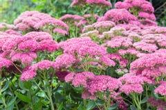 Plantas de jardín ornamentales rosadas del otoño, Autumn Stonecrop Imágenes de archivo libres de regalías