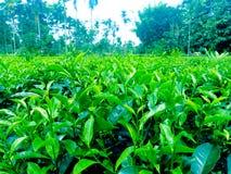 Plantas de jardim do chá verde da imagem da Índia fotografia de stock royalty free
