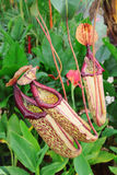 Plantas de jarra Imagen de archivo libre de regalías