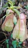 Plantas de jarro tropical em Sri Lanka fotografia de stock royalty free