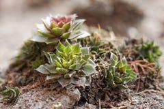 Plantas de Jovibarba no jardim Fotografia de Stock