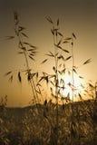 Plantas de la avena en campo en la puesta del sol en Toscana. Imagen de archivo libre de regalías