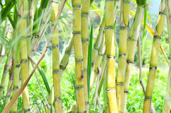 Plantas de la caña de azúcar Imagen de archivo libre de regalías
