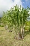 Plantas de la caña de azúcar Fotos de archivo