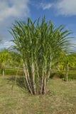 Plantas de la caña de azúcar Imagenes de archivo