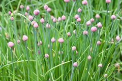 Plantas de la cebolleta foto de archivo