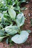 Plantas de la col rizada Fotos de archivo