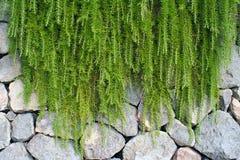 Plantas de la ejecución en la pared de las piedras, isquiones, Italia foto de archivo libre de regalías