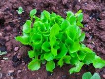 Plantas de la ensalada en tierra abierta en huerto Ensalada creciente en huerto primer foto de archivo