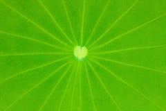 Plantas de la flor de loto. Fotos de archivo libres de regalías
