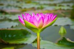 Plantas de la flor de loto. Imagen de archivo libre de regalías