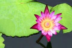 Plantas de la flor de Lotus y hermoso Imágenes de archivo libres de regalías