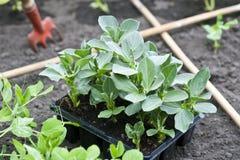 Plantas de la haba imagen de archivo