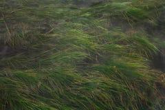 Plantas de la hierba del mar Imágenes de archivo libres de regalías