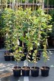Plantas de la horticultura en potes Cuarto de ni?os del jard?n fotos de archivo