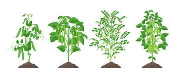 Plantas de la legumbre con el crecimiento de frutas maduro del suelo aislado en el fondo blanco Guisante, haba común, garbanzo, s ilustración del vector